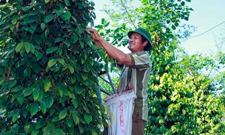 Trồng tiêu hữu cơ bền vững cho thu nhập cao