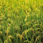 Gạo – Vinacafe 721